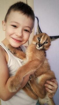 Serval und Savannah, Caracal Registrierte Kätzchen